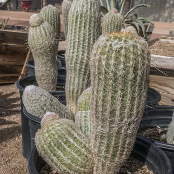 Aloe Ferox Agave And Cactus For Sale In The Phoenix Area - Desert