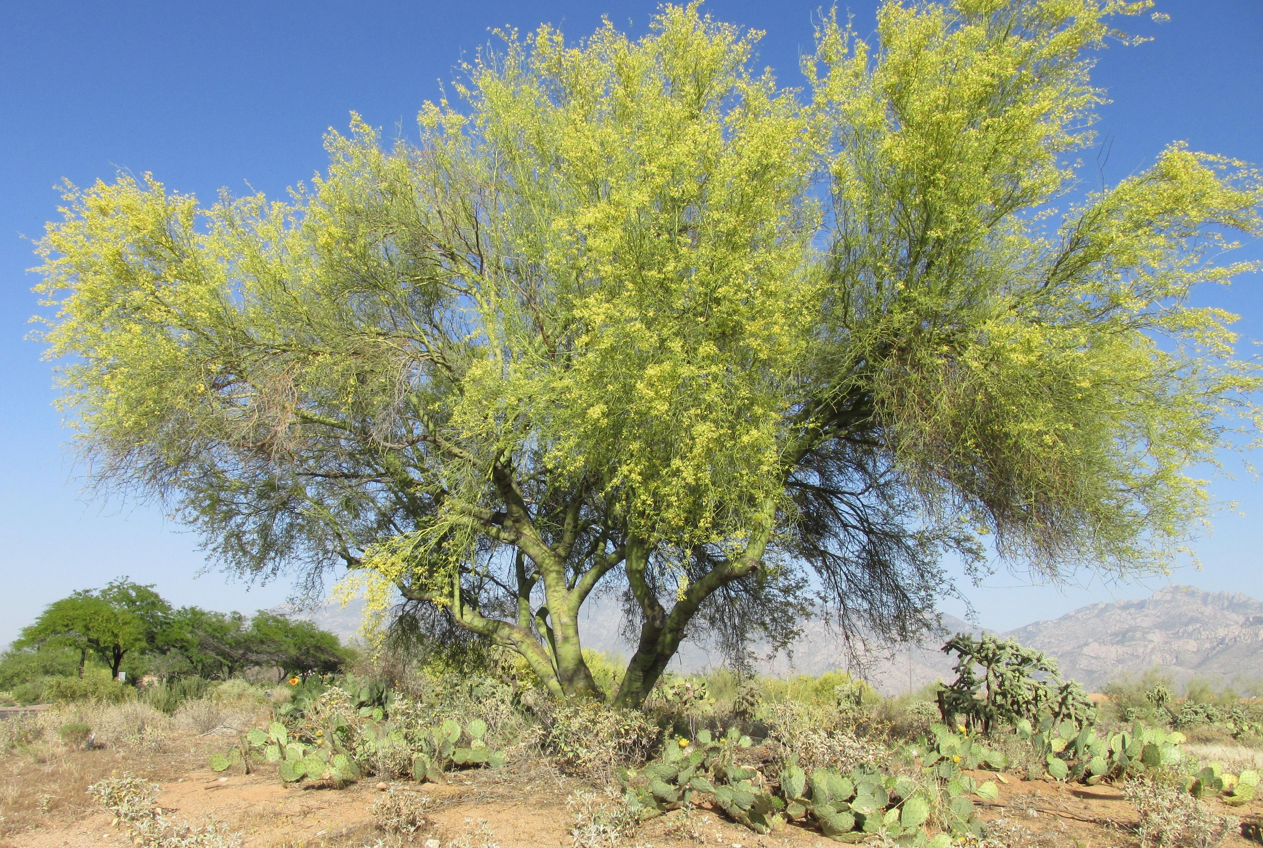 Fullsize Of Desert Museum Palo Verde