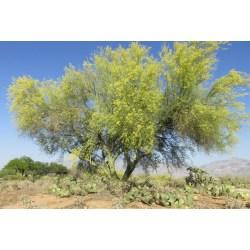 Small Crop Of Desert Museum Palo Verde