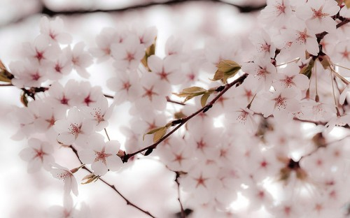 Cool Car Wallpapers 500 30 Hd Cherry Blossom Wallpapers For Desktop Designemerald