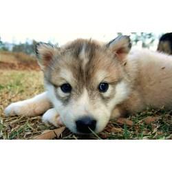Scenic Husky Puppy Socialising A New Puppy Designer Dog Info Dogs Beards Beards Photos Brown Dogs