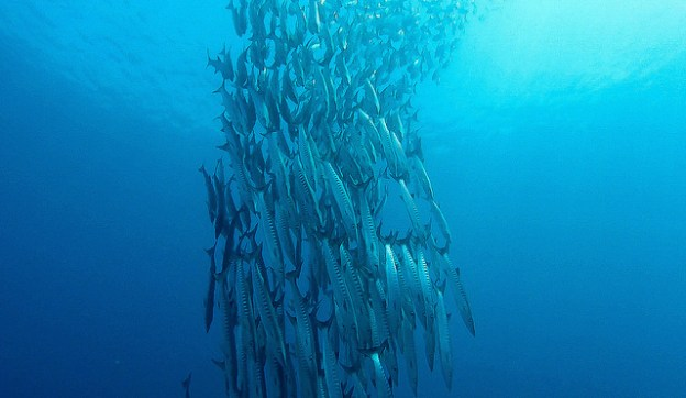 Diving Sipadan: a barracuda vortex