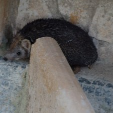 The Hedgehog of Forest Rest House in  Tal Chapar Rajasthan
