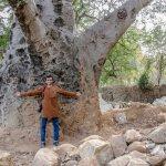 The Old Baobab Tree of Nanakramguda Hyderabad-II