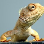 Lizards Seen in Hyderabad in South India