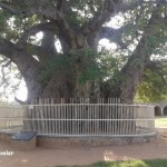 Hatiyan Jhad: The Biggest Baobab Tree in India