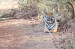 The Dominant Wagdoh Male Tiger: The Largest Male Tiger of India