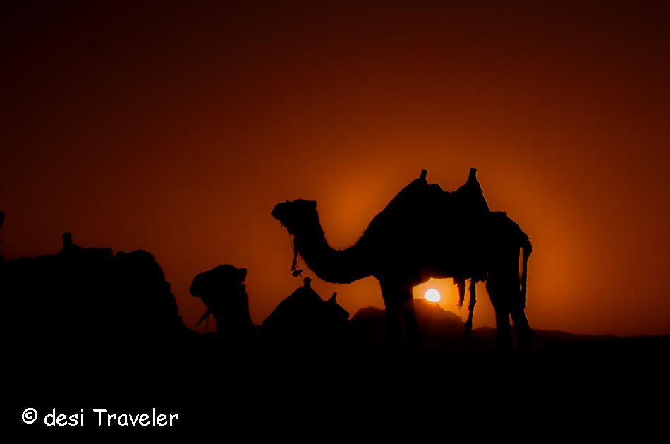 camel in sunset wadi rum