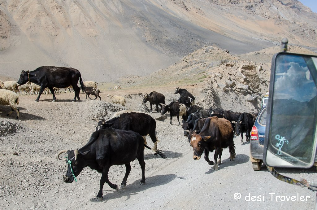 cattle near Kunzum