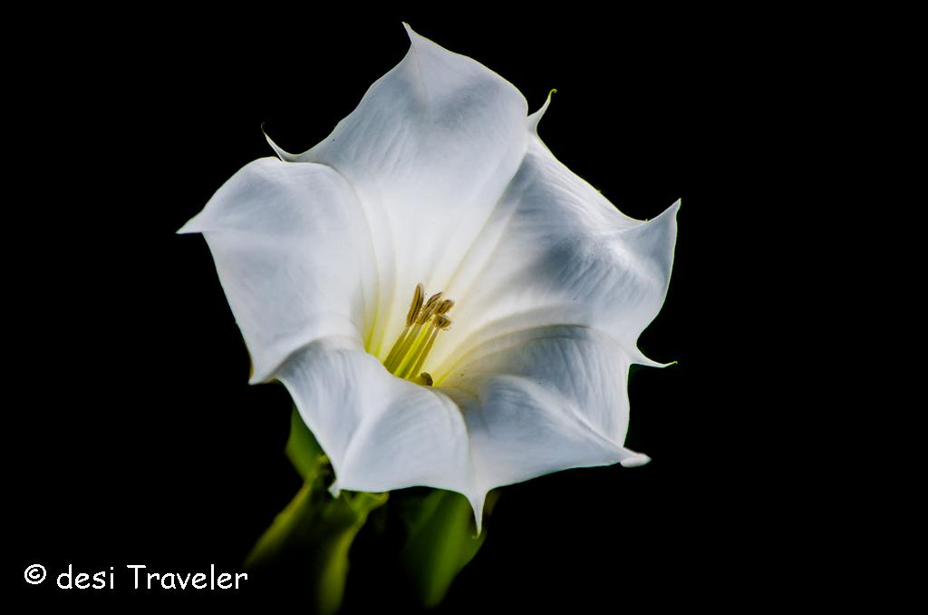 Datura Flower Sultanpur
