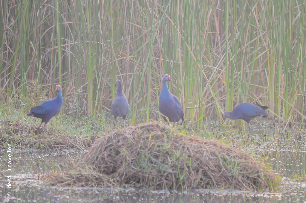 Purple Moorhen Sultanpur Bird Sanctuary