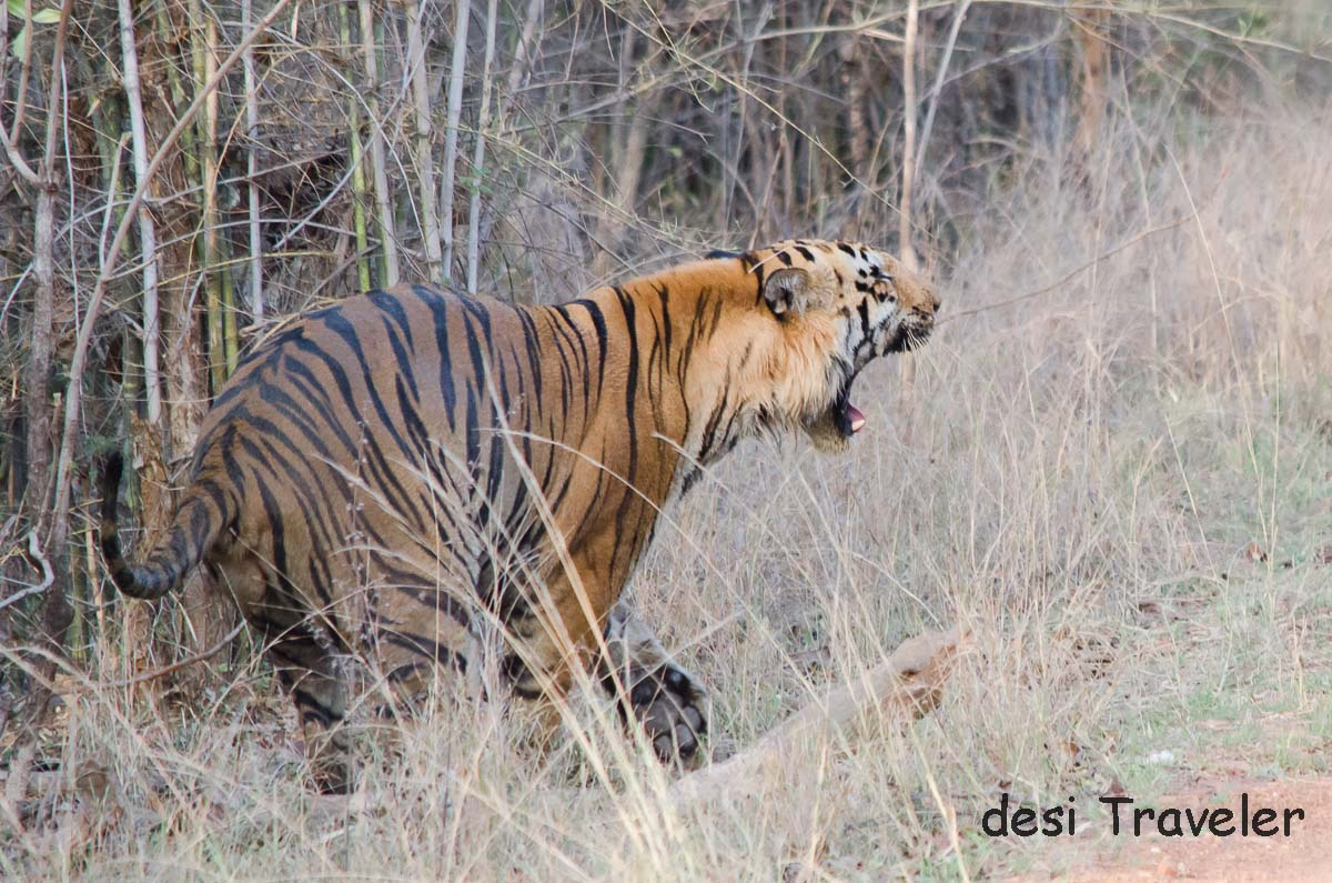 Wagdoh Male Tiger Tadoba