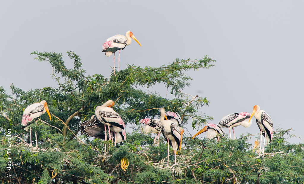 Painted Stork on acacia tree Sultanpur Bird Sanctuary