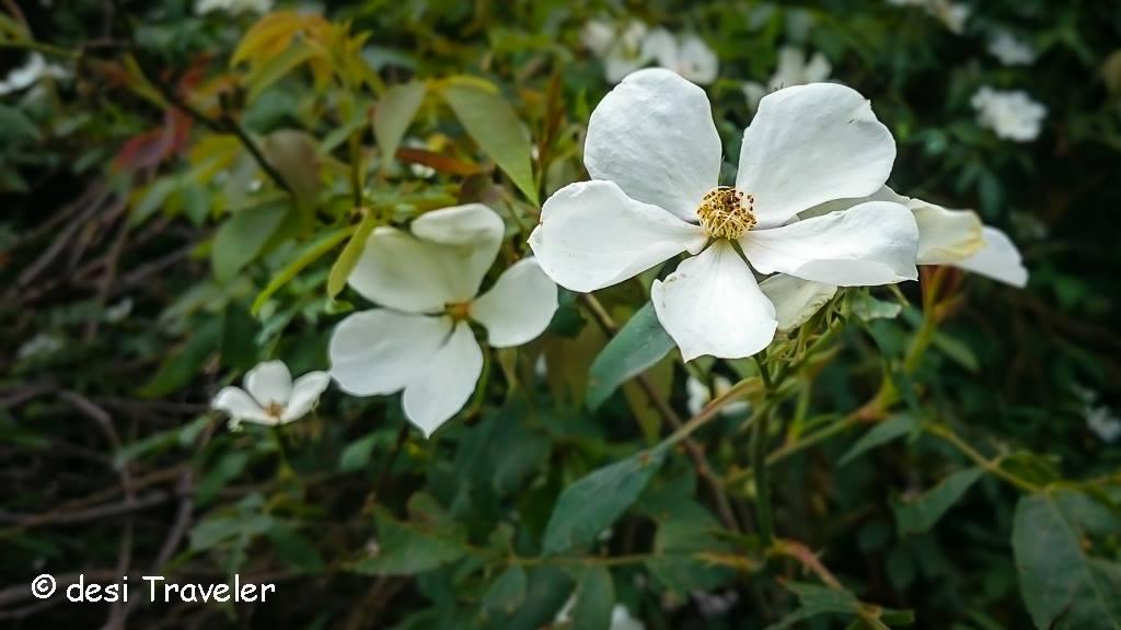 Wild Rose Himalayas Kumaon