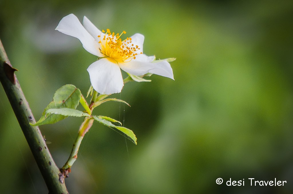 Wild Rose Kumaon Himalayas