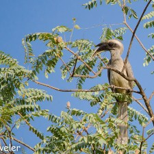 The Indian Grey Hornbill-A Wonderful Father