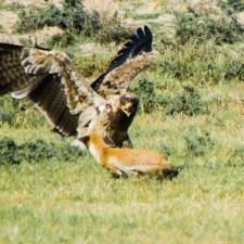 The Cunning Fox of Tal Chhapar Rajasthan