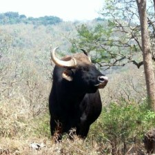 Wild Elephants & Bisons - The Gentle Giants Of Mudumalai National Park