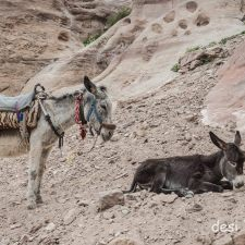 Working Donkeys of Petra & the one who quit his job