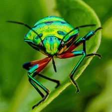 Jewel Bugs Of Mother Nature-Chrysocoris bugs