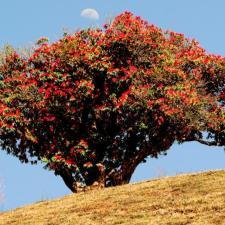 Buransh Flowers Bring A Crimson Himalayan Spring in Uttarakhand