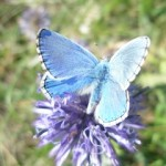 papillon-150x150