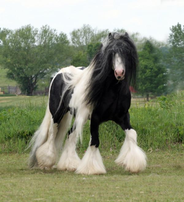 gypsy-vanner-horses-bri-ste-600x659