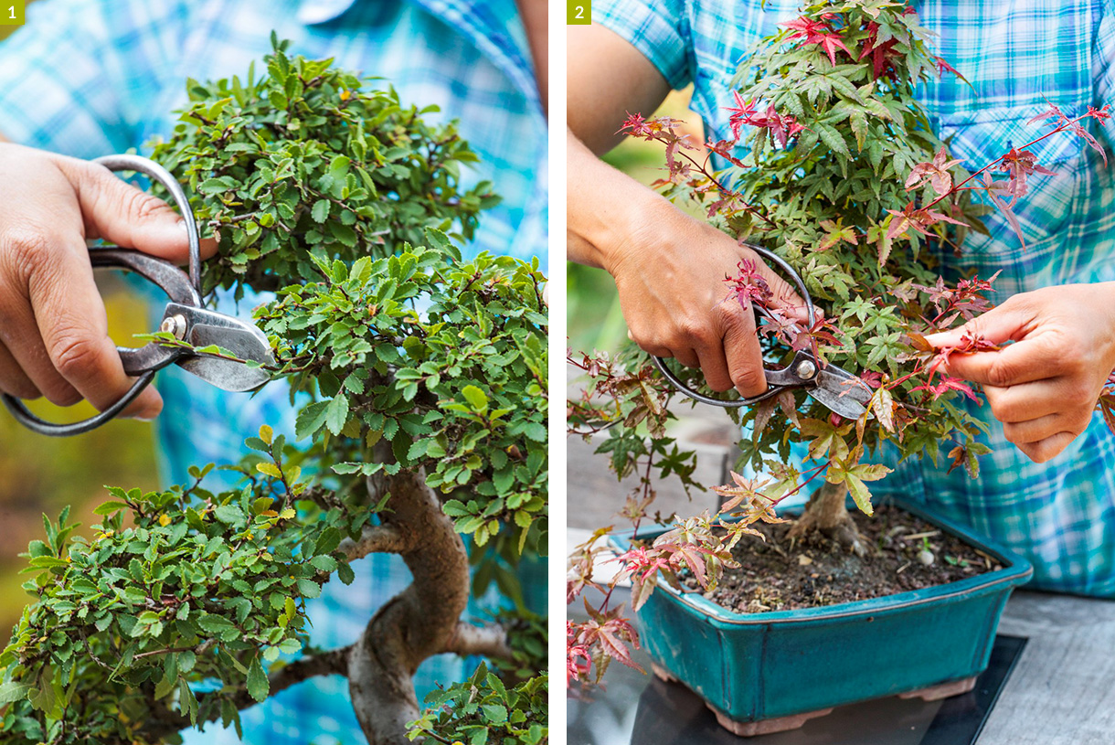 Bonsai D Interieur Especes Bonsaï 4 Secrets Pour Entretenir Un Bonsaï Facilement