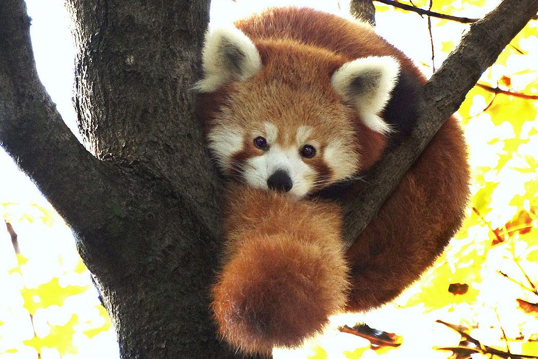 Fall Wooded Wallpaper Red Panda Detroit Zoo