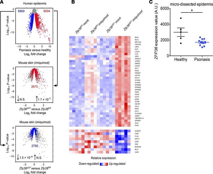 JCI Insight - Tristetraprolin expression by keratinocytes controls - Keratinocytes