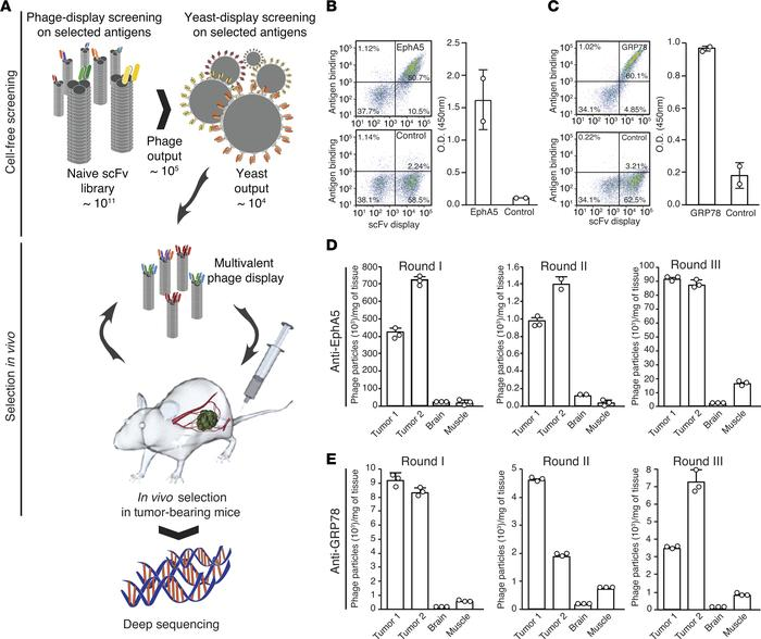 JCI Insight - Selection of phage-displayed accessible recombinant