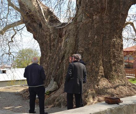 plane_tree_telavi_erekle_ii