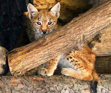 tbilisi_zoo_baby_lynx
