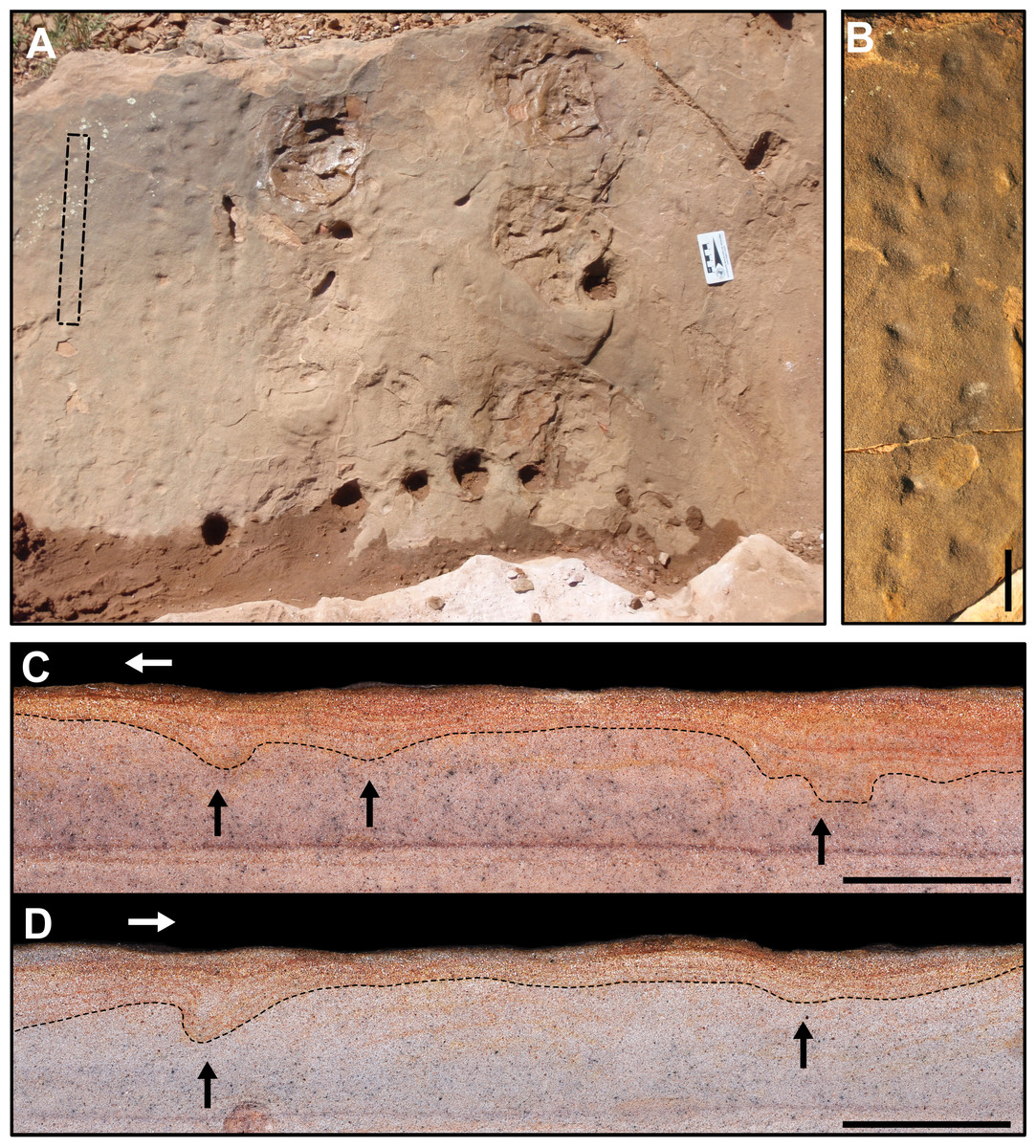 Tetrapod Tracks In Permo Triassic Eolian Beds Of Southern Brazil Paraná Basin Peerj
