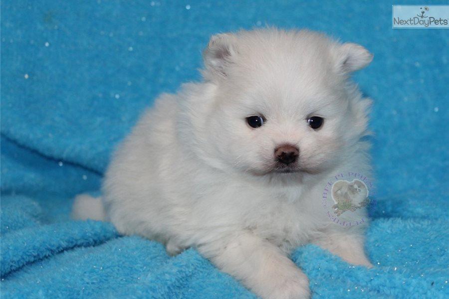 Obar Pomeranian Puppy For Sale Near Springfield Missouri