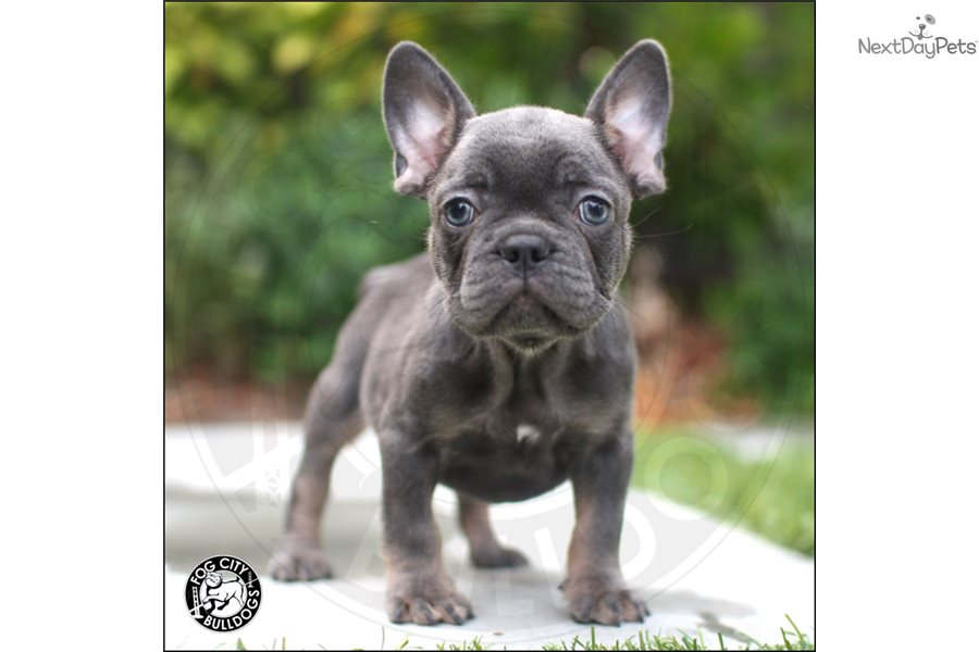 French Bulldog puppy for sale near Los Angeles, California