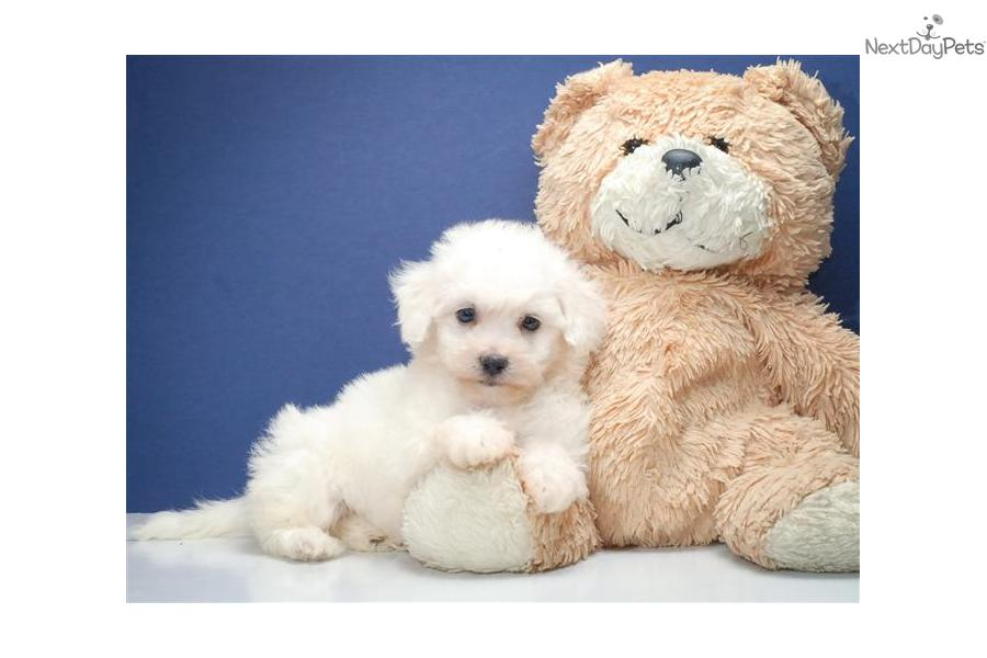 Image For Buy Bichon Frise Puppies