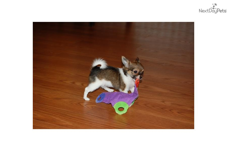 6 chihuahua pedigree puppies for sale 3 b