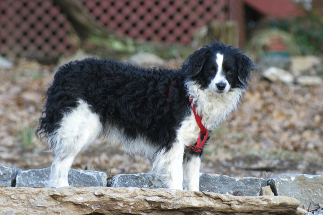 Image For Border Collie Poodle