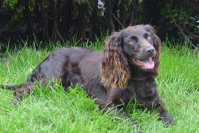 Image For The Boykin Spaniel