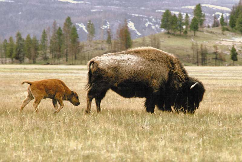 yellowstone-bison-cow-calf