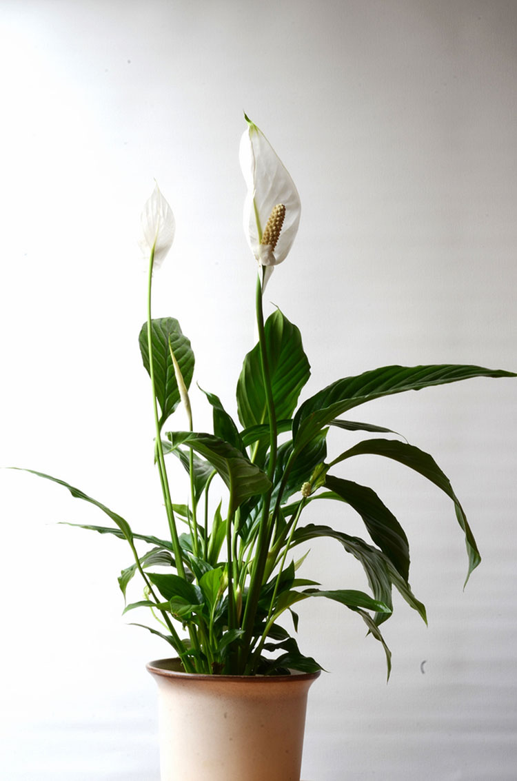 Spathiphyllum Wallisii Peace Lily Care How To Grow Spathiphyllum Epic Gardening