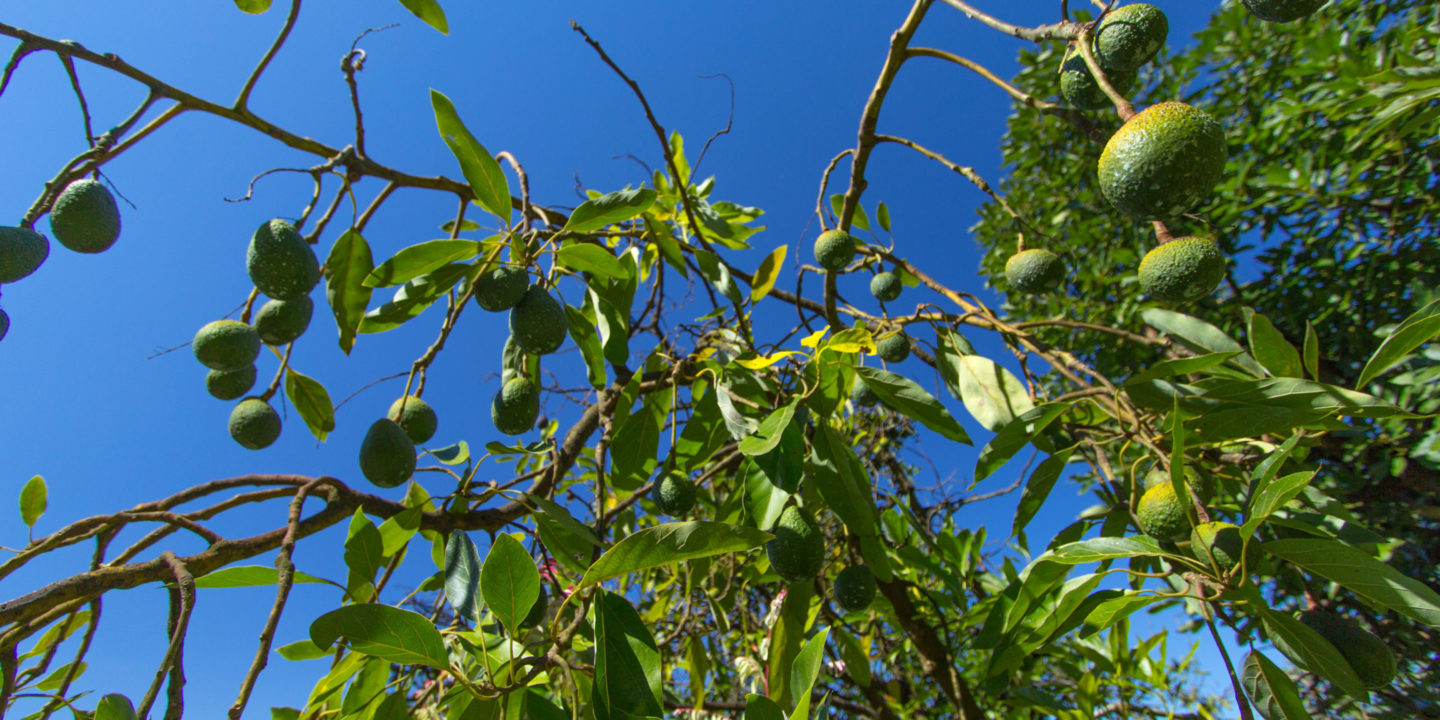 Avocado Boom Avocado Boom Wreaks Havoc On Latin America S Environment