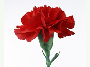 red-Carnations38