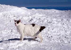 Nin, another legendary Mount Washington cat, pictured here enjoying a rare blue-sky afternoon. (Nin is also among the departed).