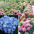 hortensia Flores da Primavera para Decoração de Casamento