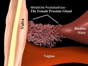 Weibliche Prostata, G-Punkt, Ejakulation der Frau | Die