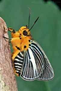 mariposas saltarinas