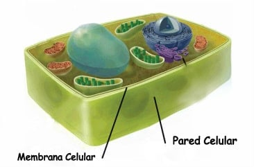 diferencia entre membrana plasm tica y pared celular