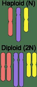 celulas diploides y haploides